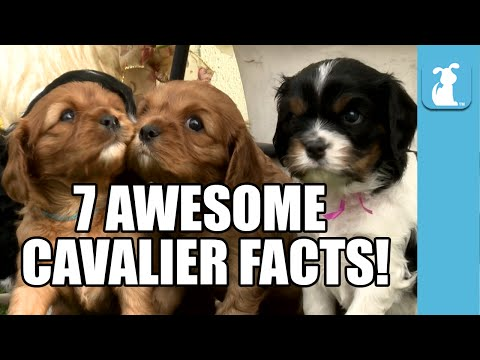 7 Incredible Cavalier Facts