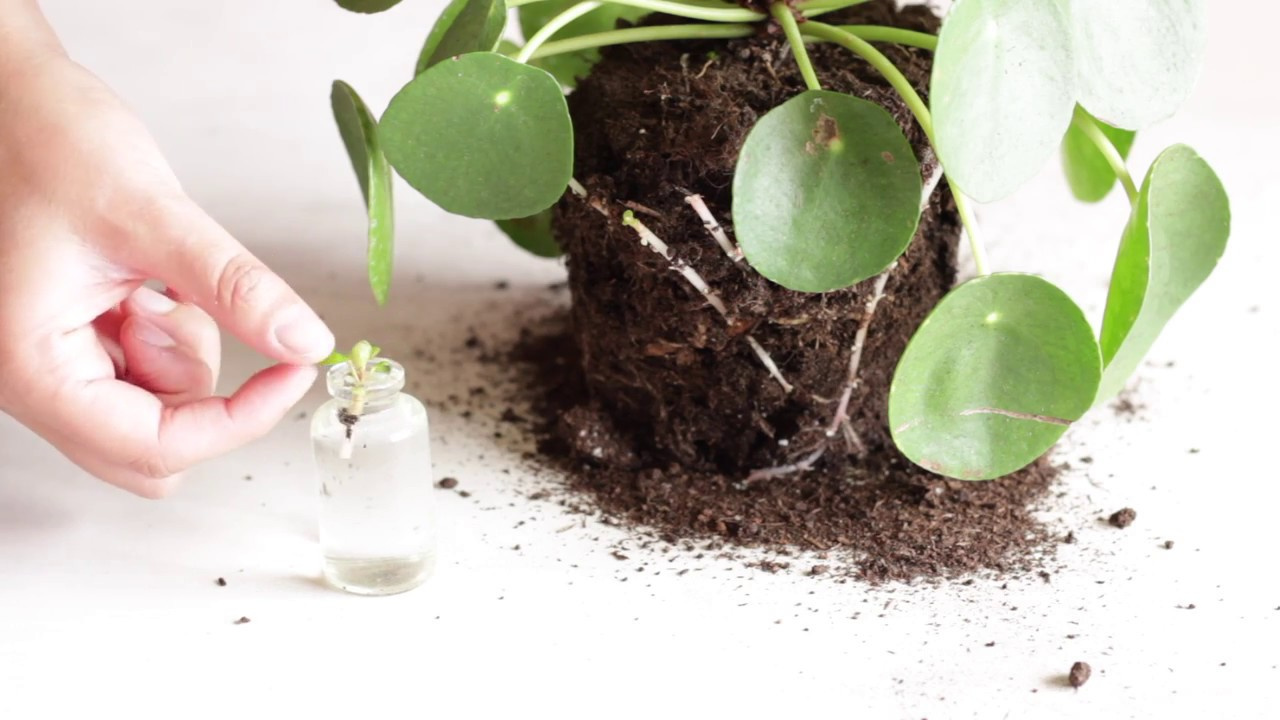 pilea peperomioides propagation cuttings part 1 youtube. Black Bedroom Furniture Sets. Home Design Ideas