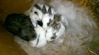 Убираем пух из домиков. Начинаем кормить крольчат.Смотрим, что все живы, включая подсаженных.