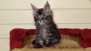 Patrick SolarSong, кот, чёрный мрамор на серебре,1 месяц и 3 недели