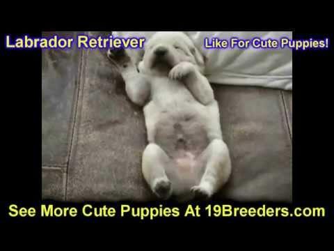 Chocolate Lab Puppies Jacksonville Fl