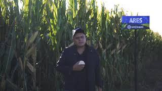 Este maíz es aguantador