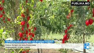 Жительница Унгенского района выращивает ягоды годжи