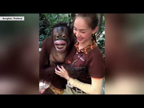 Lori - What a Naughty Orangutan!