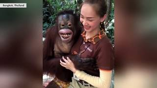 Orangutan gropes female animal handler   New York Post