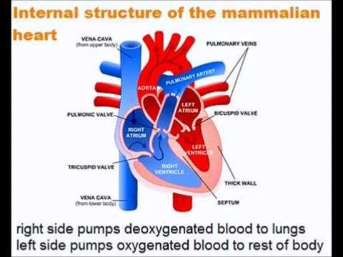 The heart quick a level biology revision youtube ccuart Images