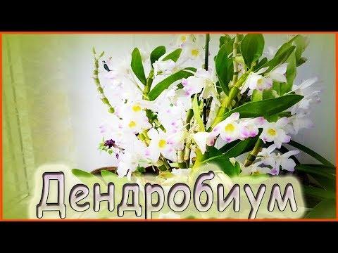 Орхидея дендробиум нобиле. Выращивание и уход в домашних условиях.