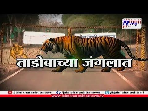 Tadoba Tiger safari special show 250218