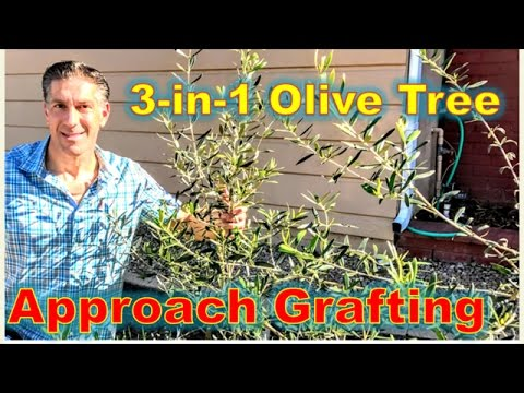 3-IN-1 OLIVE TREE GRAFTING  |  Before & After's Using The APPROACH GRAFTING TECHNIQUE