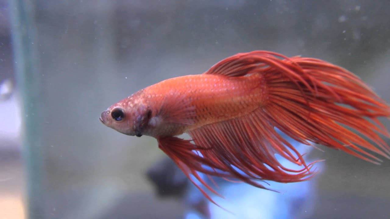Betta splendens - Pale Red Crowntail male - YouTube