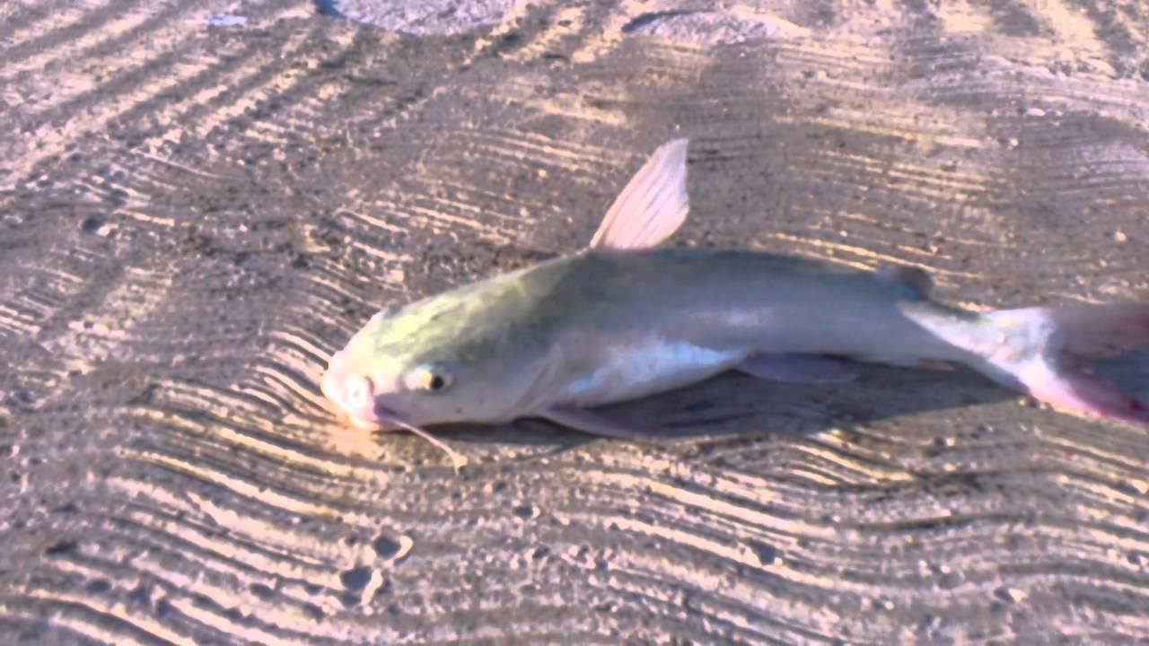 Bagre Pescado