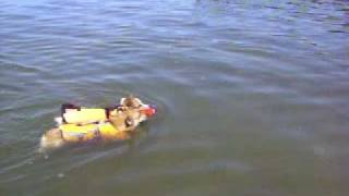 Pembroke Welsh Corgi's Swimming (beauregard And Kricket)