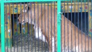 Передвижной зоопарк в Томске. Африканский лев Симба и лилигр Гамбина