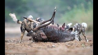 Ganas! Anjing Liar kuliti mangsanya hidup-hidup