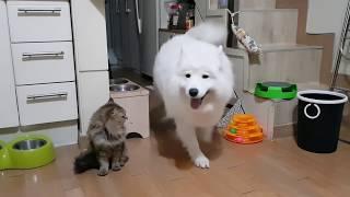 Let's tell the dog what I want 사모예드 강아지에게 원하는 것을 요구해보자! (Samoyed's behavior)