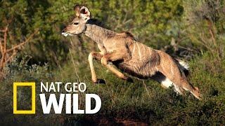 Zwierzaki w amoku - Atak tygrysa bengalskiego