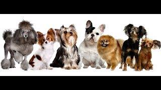 КОМНАТНО - ДЕКОРАТИВНЫЕ СОБАКИ/little dog/  Идеально для квартиры/ ЗНАКОМСТВО