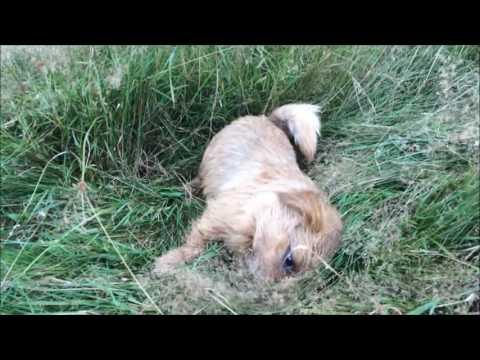 Toby the norfolk terrier - sunny summer day fun