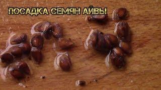 видео Айва Растение айва Плоды саженцы