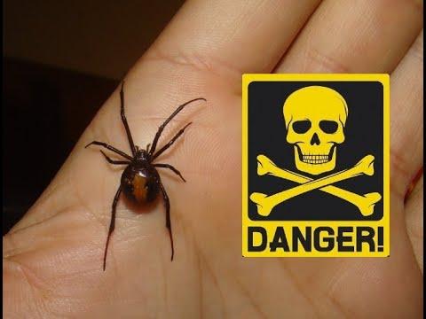 HANDING DEADLY SPIDER (Redback - Latrodectus hasselti)