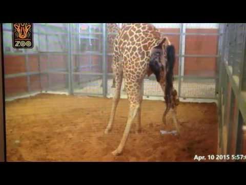 Birth of a giraffe at the Dallas zoo apr.-10-2015