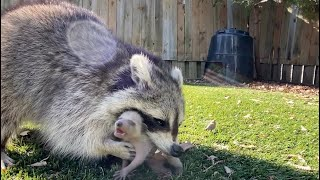 Mother Raccoons are Amazing | Incredible Footage!