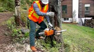 SAFELY Cutting Large Trees with Chainsaw using wedges in under 3 minutes