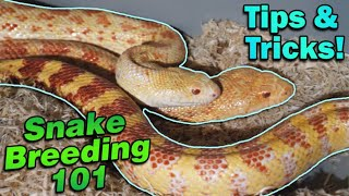 Snake Breeding Part 4: How to Pair Snakes!