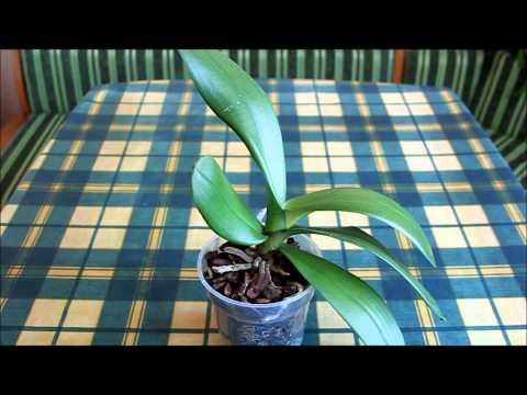 Как правильно ухаживать за орхидеей фаленопсис. Обрезка цветоносов