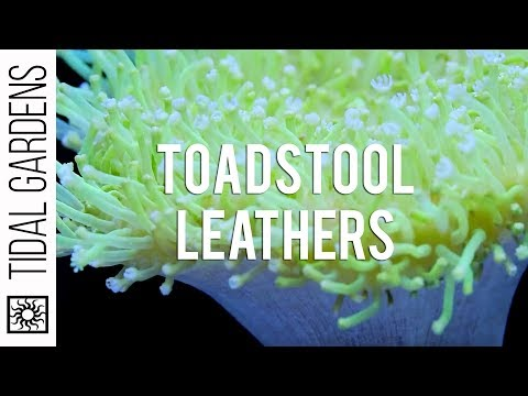 Sarcophyton Toadstool Leather Corals