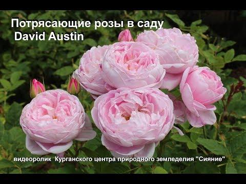 Потрясающие розы в саду Дэвида Остина