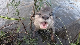 Aty finally caught a fish and ate!? [Otter life Day 108] ついにアティが魚を捕まえて食べた!?