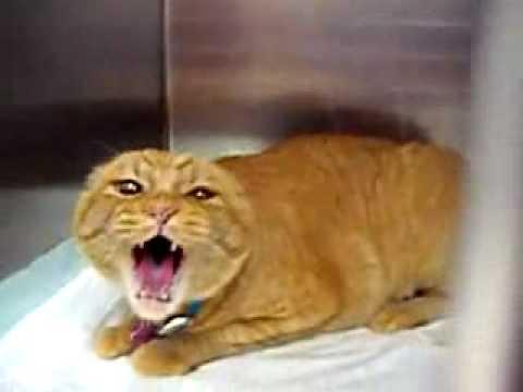 Почему кот мяучит