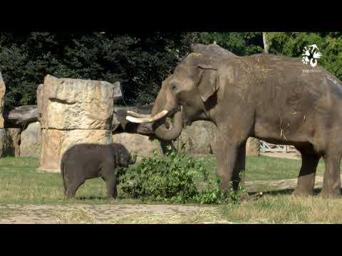 Sloní samičky Lakuna a Amalee poprvé s otcem