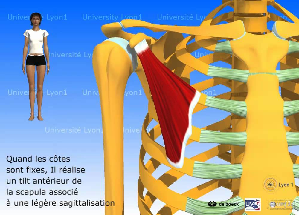 Muscle petit pectoral youtube for Interieur du corps humain photo