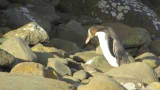 yellow-eyed penguin feeding chicks