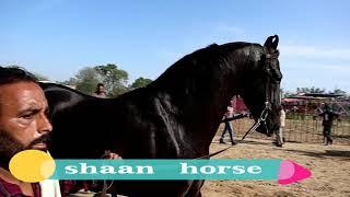 10 करोड़ का SHAAN  मारवाड़ी  घोड़ा   | world no.1 champion horse shaan
