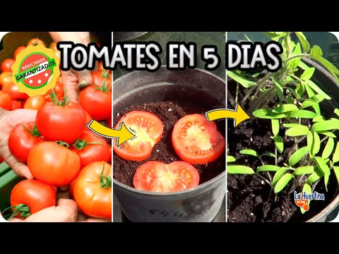 The easiest way sprout tomato supermarket in 5 days the for Planter tomates cerises en pot