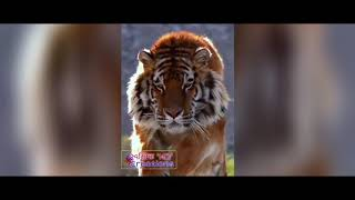 Mind Blowing Tiger Entry For Music In Tiger Jinda Hei By Swastik HD And Ravi Jadav