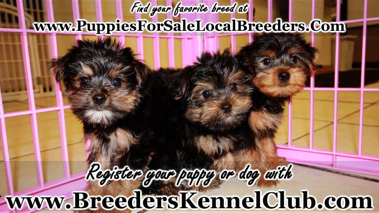 Yorkie Poo Puppies For Sale In Ga Georgia Local Breeders Youtube