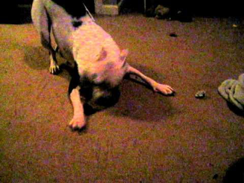 The Joy of Pitbulls - Olympia going nuts over tinfoil