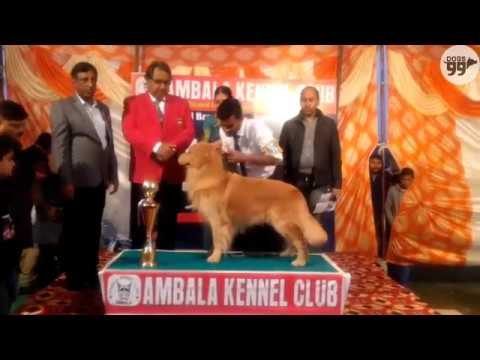 Ambala Dog Show Results Ring 1 | 5th Feb 2017 | Dogs99.com