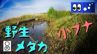 【水辺潜入】ごく浅い土水路に小ブナと野生メダカの群れがいた