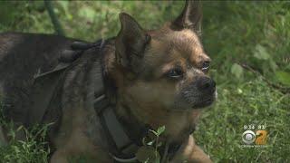 Owner Of Stolen Dog Finds Couple Walking Pet, Snatches Him Back