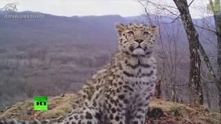 Селфи котят и «любовные письма»: дальневосточные леопарды попали на видео