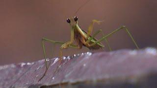 Praying mantis found on Royals' dugout