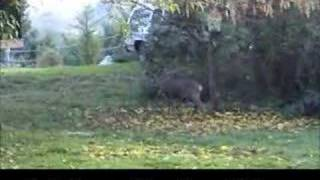 Repeat youtube video Buck Mating Sounds---Deer Sounds