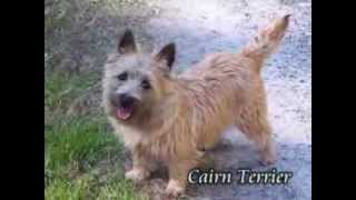 Cairn Terrier Puppies For Sale In Pa
