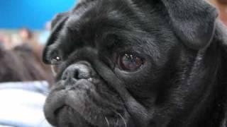 Seattle Kennel Club Akc Dog Show March 2009