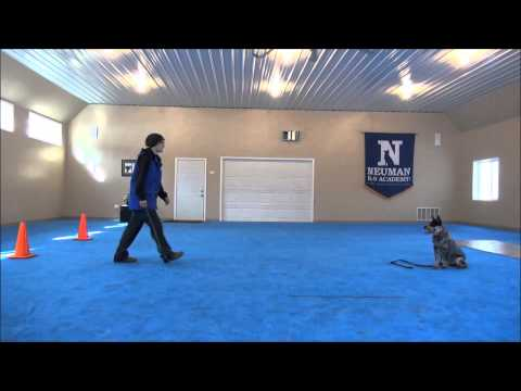 Blu'Bell (Australian Cattle Dog) Dog Training Video